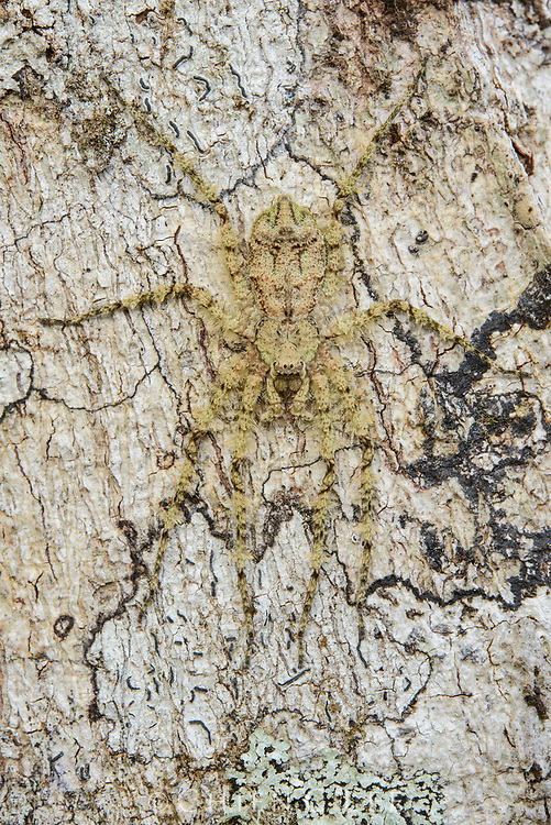 Superbly camouflaged, this lichen huntsman spider (Pandercetes gracilis) lies in wait for prey on the trunk of a tree in the Arfak Mountains of New Guinea. West Papua, Indonesia (New Guinea).