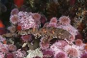 puffadder shyshark (  catshark or cat shark ), Haploblepharus edwardsii  (endemic ), among sea urchins, Parechinus angulosus, Cape of Good Hope, False Bay, South Africa