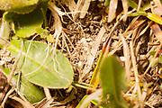 Adonis blue pupa (Polyommatus bellargus) buried in soil. Surrey, UK.
