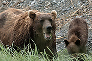 A Brown bear sow and her cubs eat grasses in the marsh at the McNeil River State Game Sanctuary on the Kenai Peninsula, Alaska. The remote site is accessed only with a special permit and is the world's largest seasonal population of brown bears in their natural environment.