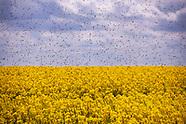 Tysiące pszczół nad polami rzepaku - 27.05.2021
