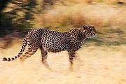 A motion blur of a cheetah running ( Acinonyx jubatus ),  Khwai River, Botswana, Africa