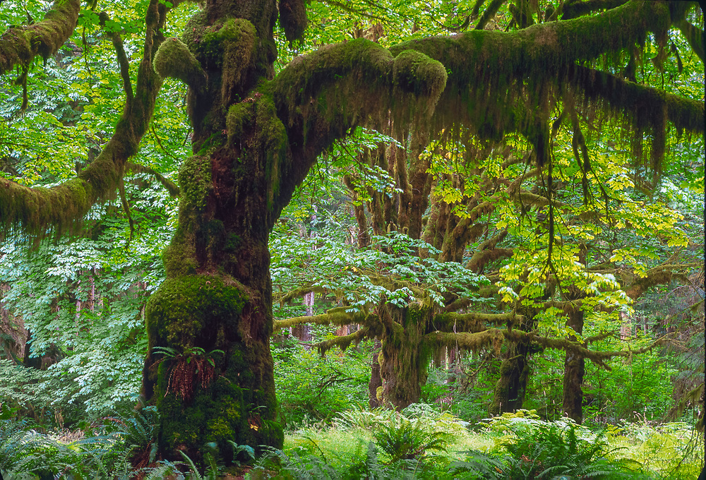 Big-leaf maple trees (Acer macrophyllum), overcast light, early summer, Queets Rain Forest, Olympic National Park, Washington, USA