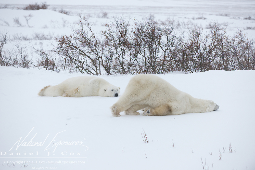 Polar Bear, two males in the willows. One sliding along on his neck as they often do. Hudson Bay, manitoba.   Two younger polar bears killing time as they wait for thrice on Hudson Bay to freeze at Cape Churchill, Manitoba.