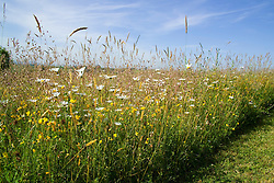 Meadow with ox-eye daisies, grasses and blue sky - Leucanthemum vulgare