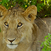 African Lion (Panthera leo) Cub portrait. Masai Mara National Park. Kenya. Africa.