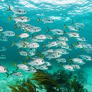 A school of horse-eye jack (Caranx latus) swim along a coral reef in The Bahamas