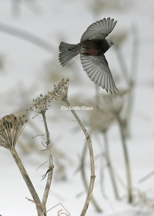 On a windy and very cold spring morning, a Grey Crowned Rosy-Finch takes flight. This species lives on St. Paul Island year around. (Steve Ringman / The Seattle Times, 2006)