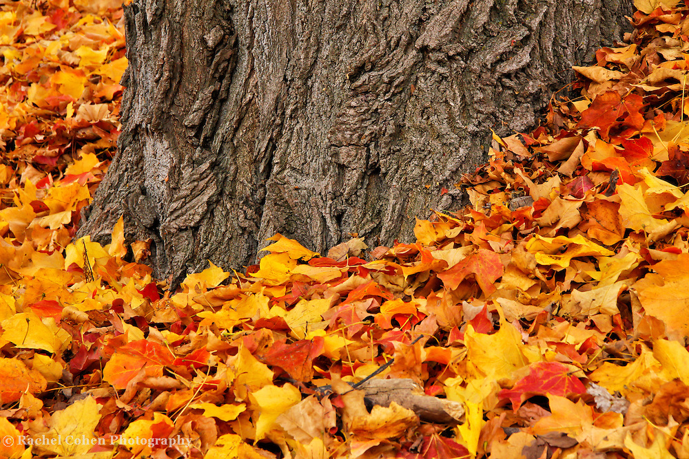 """""""Measure of Time""""<br /> <br /> Feel the wonder of time in this beautifully textured old Maple tree trunk surrounded by vibrant yellow, orange, gold, and red leaves!<br />   Ahh, the beauty of time, and age!!<br /> <br /> <br /> Fall Foliage by Rachel Cohen"""