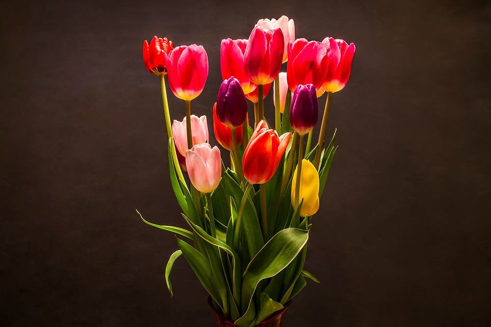 Tulips in a studio setting on a background.