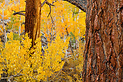 Jeffrey Pine, Cottonwood, Aspen and Willow, Inyo National Forest, Mono County, Caifornia