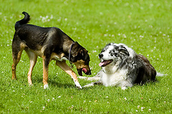 Young playful Black and Tan juvenile mongrel dog greets an older dog in the local park <br />   <br /> 06 June 2009 Copyright Paul David Drabble