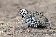 Montezuma Quail - Cyrtonyx montezumae - male