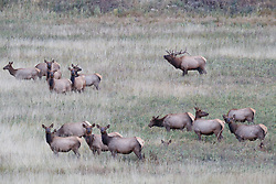 Bull gathering and working cow elk gathered in harem during fall rut, Vermejo Park Ranch, New Mexico, USA.