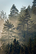 Cloud in evergreen trees, Mineral King, Sequoia National Park, California