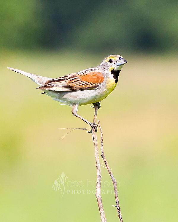 A male Dickcissel patrols his territory. This grassland bird will actively defend good nesting and feeding sites from other males. <br /> <br /> Dickcissel (Spiza americana)