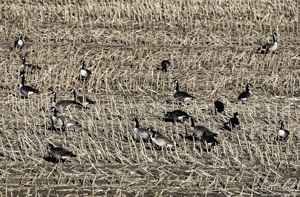 Canadian geese feeding in a harvested corn field, New York, USA