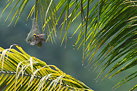 Baya weaver, Ploceus philippinus, on its nest in Tongbiguan nature reserve, Dehong prefecture, Yunnan province, China