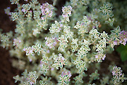 Thyme flowering in a garden