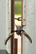 Jul 29, 2009 - Dundee, United Kingdom - SHE didn't have to swerve, or even apply the brakes.  With just a flap and a twist this swallow swooped through a twoinch gap in a locked barn door.  She managed to manoeuvre all 14 inches worth of wingspan inside without ruffling a feather.  The astonishing display of aerobatics was captured by a photographer sitting in the agricultural shed.  Waiting up in the rafters were the bird's chicks, no doubt clamouring for their breakfast.  The swallow is one of a pair of birds rearing their chicks inside the building in the Angus Glens, north of Dundee.  The two parents have worked out a system of entry and exit so they don't run into each other at high speed.  Wildlife photographer Keith Ringland, who took the pictures, said: 'The swallow used a different, much bigger hole in the roof to leave the building. <br /> ©Keith Ringland/Exclusivepix