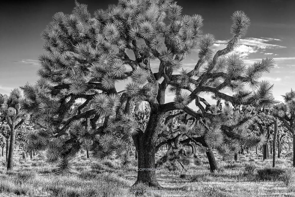 Joshua Tree in Black & White