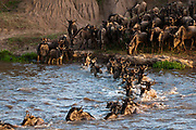 Wildebeest crossing Mara River during annual migration, Masai Mara, Kenya.