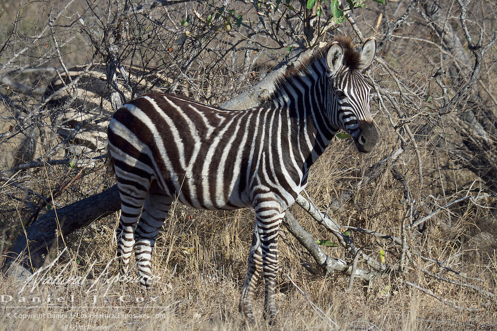 Burchell's Zebra, Timbavati Game Reserve, South Africa.