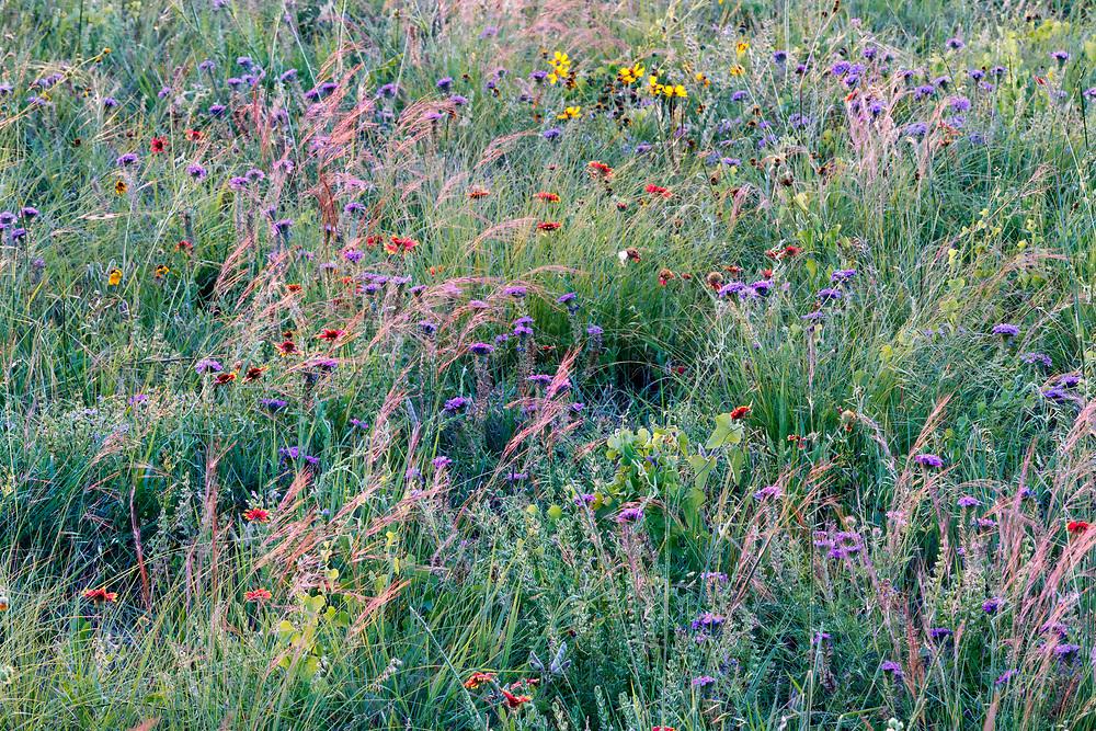 Wildflowers on remnant prairie, Stella Rowan Prairie, Fort Worth, Texas USA.