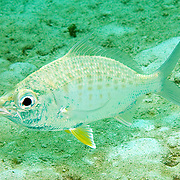 Yellowfin Mojarra inhabit sand areas often near reefs in Tropical West Atlantic; picture taken Ft. Lauderdale, FL.