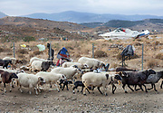 A herd of sheep is seen in the mountains of northern Lesvos. Visual encounters dictated by the Island's current reality.