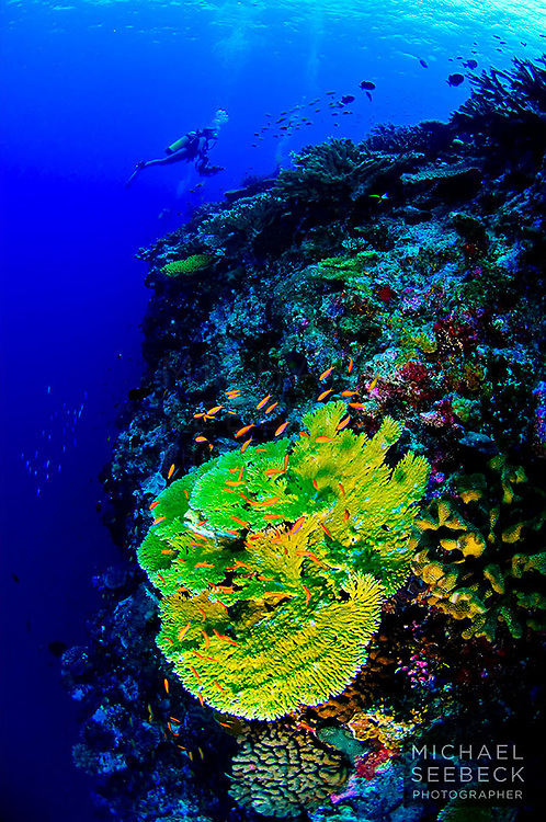 Divers pass over the shoulder of Egeria Wall, with a beautiful coral, harbouring a school of anthias, features in the foreground.<br /> <br /> Open Edition Print / Stock Image