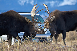 Fighting  Bull moose herd in Grand Teton National Park, Jackson Hole, Wyoming