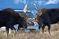 Wildlife-Yellowstone