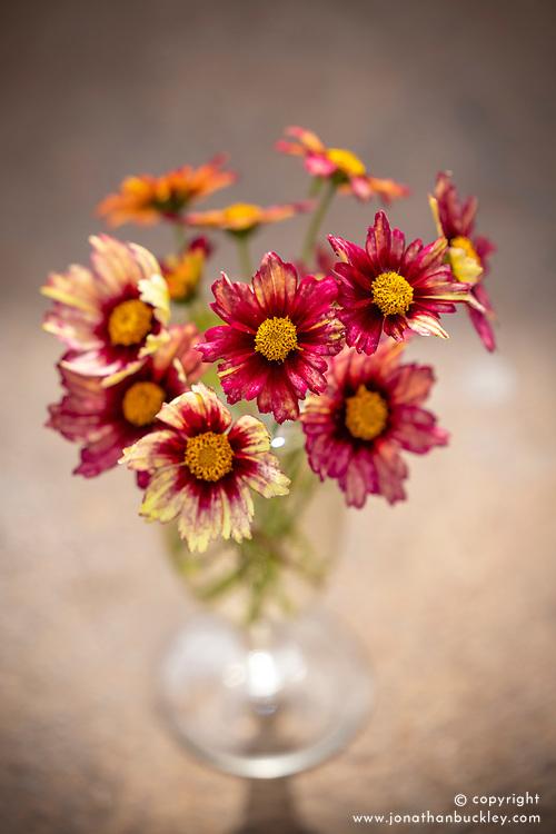 Coreopsis 'Red Shift' (Big Bang Series) in a vase