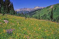 A wildflower meadow near Singing Pass, Whistler, BC includes a profusion of yellow flowers with some purple lupin.