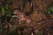Paca (Cuniculus paca)<br /> Mapari<br /> Rupununi<br /> GUYANA<br /> South America<br /> RANGE: Southern Mexico to northern Argentina.
