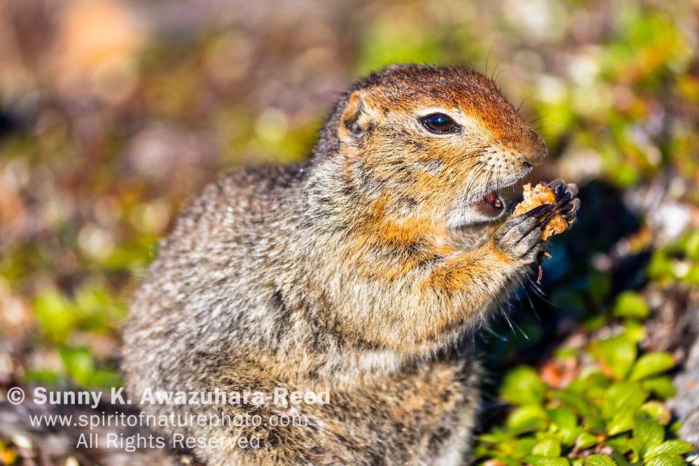 Close up of Arctic Ground Squirrel chewing food, Kesugi Ridge, Denali State Park, Southcentral Alaska, Summer.