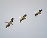 American White Pelican (Pelecanus erythrorhynchos).  Merritt Island National Wildlife Refuge. Image taken with a Nikon D3s camera and 200-400 mm f/4 VR lens.