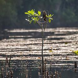 Gavião-caramujeiro (Rostrhamus sociabilis) em Fazenda Cupido & Refúgios, em Linhares, Espírito Santo, Brasil. ENGLISH: Snail Kite ((Rostrhamus sociabilis) at farm Cupido & Refúgio, em Linhares, Espírito Santo, Brazil.