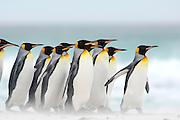 Beim Start zum Beutezug sowie bei ihrer Rückkehr vom Meer zur Brutkolonie sieht man, dass sich die Königspinguine (Aptenodytes patagonicus) in Gruppen zusammenfinden. Auf diese Weise werden sicherlich die Chancen erhöht, unbeschadet an ihren im Wasser lauernden Feinden wie Seelöwen und Schwertwalen vorbeizukommen. [size of single organism: 90 cm] | Starting to and returning from their foraging trips the king penguins (Aptenodytes patagonicus) often gather in groups. This habit potentially lowers the risk of being caught by their aquatic predators, e.g. the sea lion and the orca.