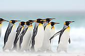 King penguins | Königspinguine