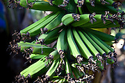 Young unripe green bananas on a banana plant