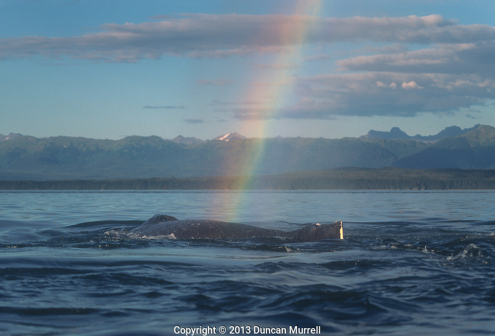 A humpback whale (Megaptera novaeanglia) blowing and creating a rainbow, Icy Strait, Southeast Alaska, USA.