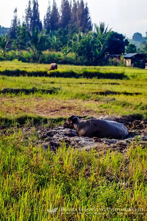 Indonesia, Sumatra. Samosir. Water buffalo in mud close to Tuk Tuk.