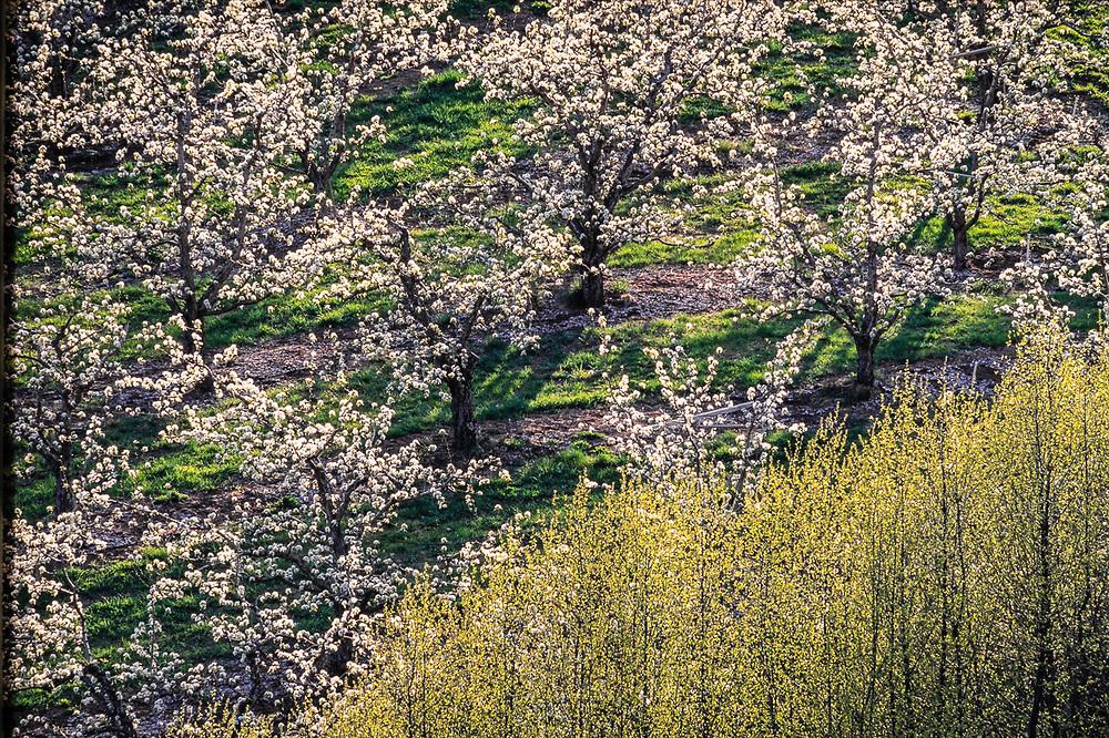 Apple orchard, spring, near Dryden, Washington, USA
