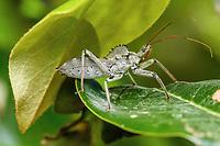 Wheel bug (Arilus cristatus). Photographed in Lady Lake, FL USA