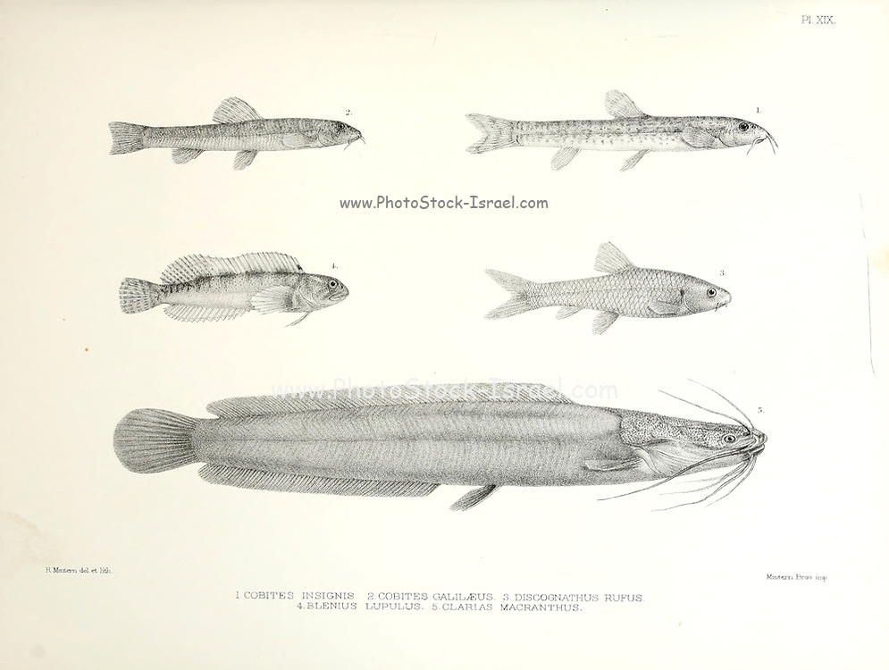 Various fish species : Cobites insignis, C. galilaeus, Discognathus rufus, Blennius lupulus, Clarias macracanthus From the survey of western Palestine. The fauna and flora of Palestine by Tristram, H. B. (Henry Baker), 1822-1906 Published by The Committee of the Palestine Exploration Fund, London, 1884