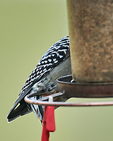 Red-bellied Woodpecker (Melanerpes carolinus). Image taken with a Nikon D850 camera and 600 mm f/4 VR lens