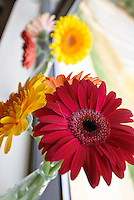 Colorful Gerber Daisies.
