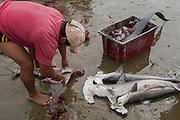 Shark Gutting (Sphyrna zygaena)<br /> Puerto Lopez<br /> Manabi<br /> Ecuador<br /> South America